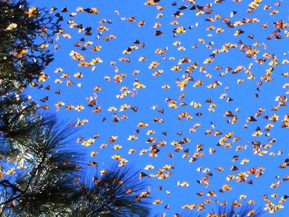 monarca-borboleta-550px