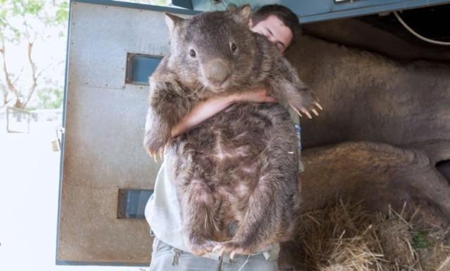 pirtarin-wombat-2