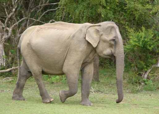 asianelephant6